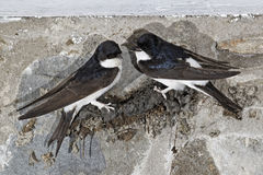 House Martin, Delichon urbica Royalty Free Stock Photo