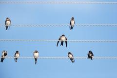 House Martin (Delichon urbica).Wild bird in a natural habitat. Stock Photo