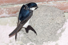 House Martin (Delichon urbica).Wild bird in a natural habitat. Royalty Free Stock Images