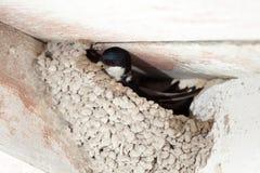 House Martin (Delichon urbica).Wild bird in a natural habitat. Royalty Free Stock Image