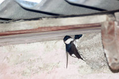 House Martin (Delichon urbica).Wild bird in a natural habitat. Royalty Free Stock Photography
