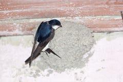 House Martin (Delichon urbica).Wild bird in a natural habitat. Royalty Free Stock Photo