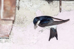 House Martin (Delichon urbica).Wild bird in a natural habitat. Stock Photo