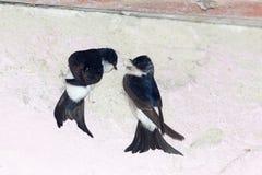 House Martin (Delichon urbica).Wild bird in a natural habitat. Stock Photos
