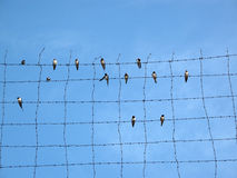 House Martins on barbed wire. Under blue sky Royalty Free Stock Images