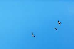 House Martins flying in sky Royalty Free Stock Photography
