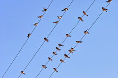 House martins laid on electric wires Royalty Free Stock Photo
