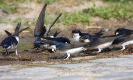 House Martins on land Stock Photography