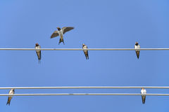 House-martins on wire. Six house-martins, sitting on wire Royalty Free Stock Photography