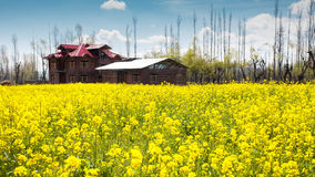 A House in the middle of Mustard field Royalty Free Stock Photos
