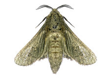House moth Royalty Free Stock Photo