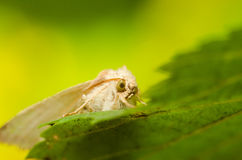 House Moth Macro royalty free stock photos