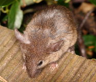 House mouse. Curious little house mouse in our garden Stock Photography