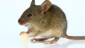 House mouse eating cheese (Mus musculus) stock footage