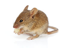 House mouse eating cheese (Mus musculus) Royalty Free Stock Photography