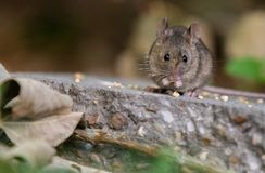 House Mouse Eating Dropped Birdseed stock photography