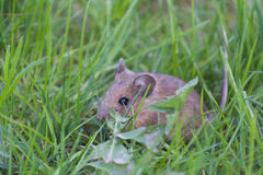 House Mouse in the grass Royalty Free Stock Photos