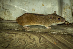 House mouse. Royalty Free Stock Photos