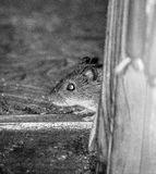 House mouse. Royalty Free Stock Photography