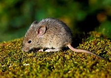 House Mouse (Mus musculus). House mouse on the moss