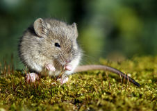House Mouse (Mus musculus). House mouse on the moss Stock Photos