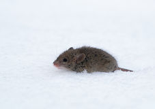 House Mouse (Mus musculus). Photo of House Mouse on the snow Stock Images