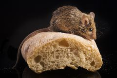 House mouse (mus musculus). With  bred Royalty Free Stock Images