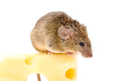 House mouse (Mus musculus) on big cheese Stock Images