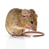 House mouse (Mus musculus) cleaning Stock Image