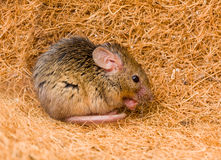 House mouse (Mus musculus) cleaning Royalty Free Stock Photography