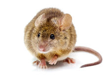 House mouse (Mus musculus) Royalty Free Stock Photography