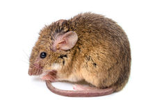House mouse (Mus musculus) Royalty Free Stock Images