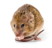 House mouse (Mus musculus) Royalty Free Stock Photo