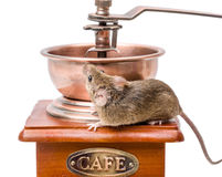 House mouse (Mus musculus) on coffee grinder Royalty Free Stock Image