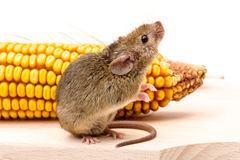 House mouse (Mus musculus) on corn Royalty Free Stock Photo