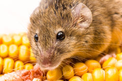 House mouse (Mus musculus) on corn Stock Photography