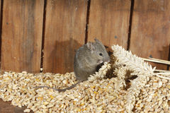 House mouse, Mus musculus, Royalty Free Stock Photos
