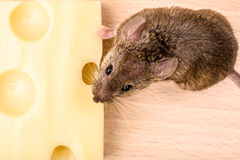 House mouse (Mus musculus) eating cheese Royalty Free Stock Images