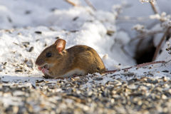 House Mouse (Mus musculus) eating seeds Royalty Free Stock Images