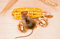 House mouse (Mus musculus) eating walnut and corn Royalty Free Stock Photos