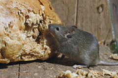 House mouse, Mus musculus, Stock Photography