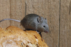 House mouse, Mus musculus, Royalty Free Stock Image