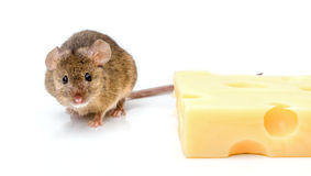 House mouse (Mus musculus) near cheese Royalty Free Stock Images