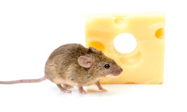 House mouse (Mus musculus) near cheese Stock Images