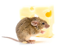 House mouse (Mus musculus) near cheese Royalty Free Stock Image
