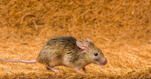House mouse (Mus musculus) running. Close view of a tiny house mouse (Mus musculus) running Stock Image