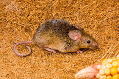 House mouse (Mus musculus) running. Close view of a tiny house mouse (Mus musculus) running Royalty Free Stock Image