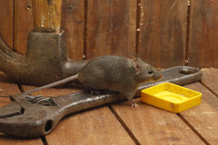 House mouse, Mus musculus, Stock Photo