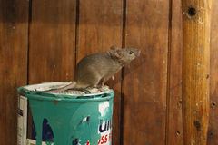 House mouse, Mus musculus, Royalty Free Stock Images