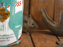House mouse, Mus musculus, Stock Photos